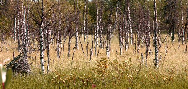 Печорской природоохранной межрайонной прокуратурой проведена проверка по факту загрязнения земель лесного фонда
